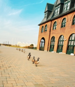 Geese marching towards the 9/11 Memorial at Liberty State Park. Photo by Candice Narvaez